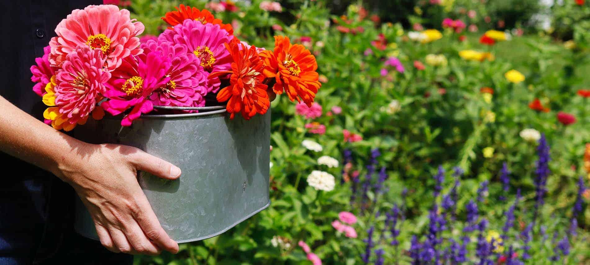 colorful garden scene woman holding steel bucket of zinnias