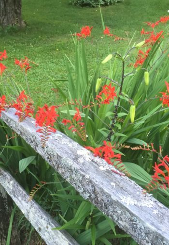 Red Crocosmia alongside a split rail fence