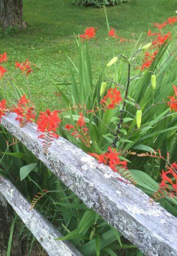 Red Crocosmia alongside a split rail fence