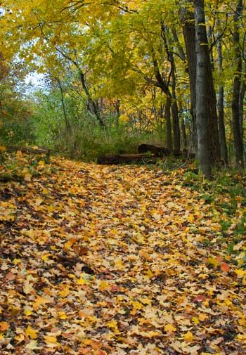 Wooded path in the fall covered in fallen leaves